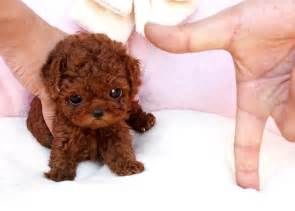 lifespan of yorkie poodle tea cup dogs that stay tiny i my yorkies
