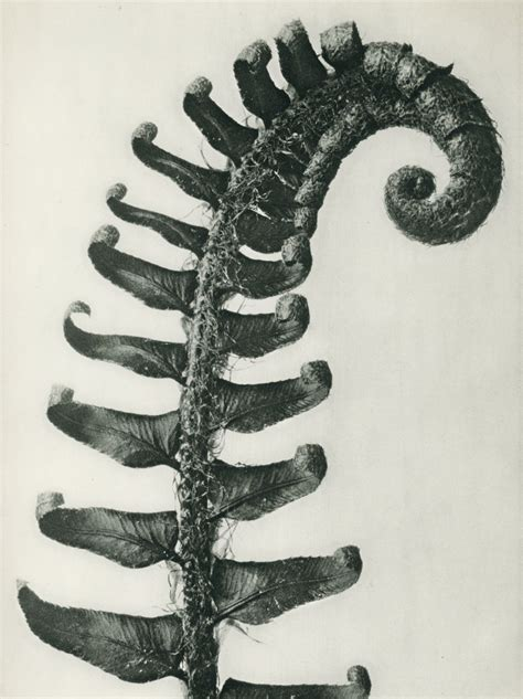Home Decorative Items by Karl Blossfeldt Michael Hoppen Gallery