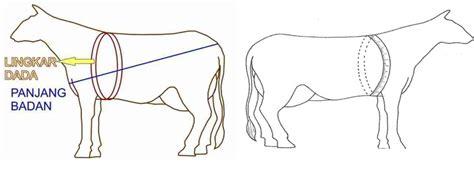 Mengukur Lingkar Dada cara menghitung bobot badan sapi
