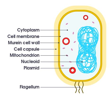 diagram of file simple diagram of bacterium en svg wikimedia commons