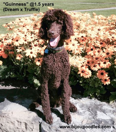 how do you say dogs in how do you say poodle in photo