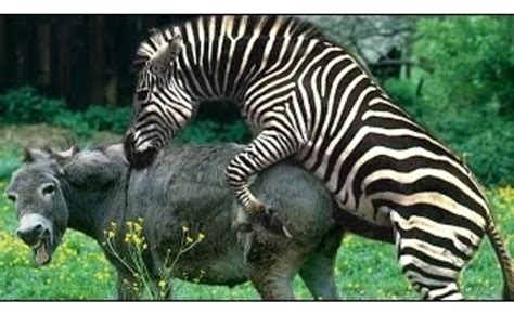 animal mating with zebra mating with zebra hybrid mating