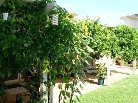 Building Trellises my edible fruit trees passionfruit vines wa