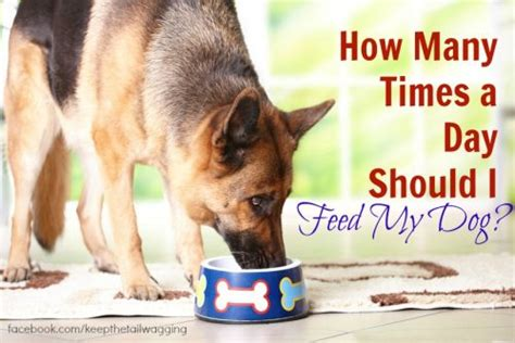 how often should dogs eat how many times a day should i feed my keep the wagging