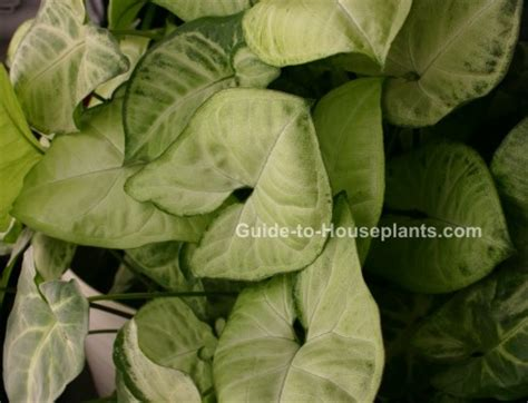 common house plant with shaped leaves arrowhead plant syngonium podophyllum picture care tips