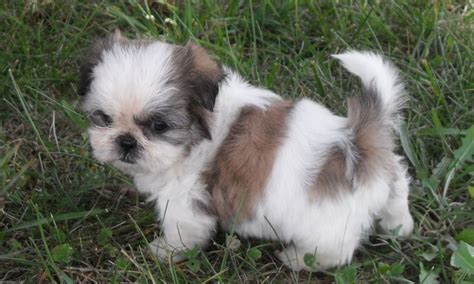 shih tzu diseases the ideal shih tzu shih tzu city
