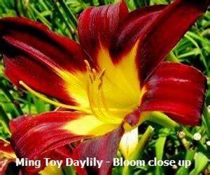 ming toy daylily hemerocallis