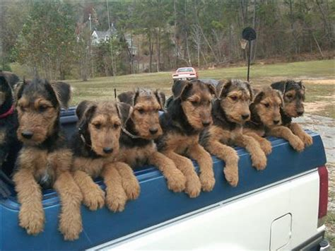 airedale terrier puppies for sale airedale terrier puppies sale classified by airedale3 airedale terrier puppies for