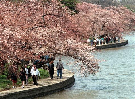 washington d c cherry trees japanese cherry trees planted along tidal basin march 27 1912 politico
