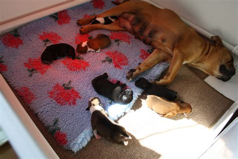 how to raise two puppies successfully puppies lonsdale bulldogs