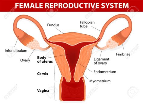 Cervix Diagram cervix anatomy picture human anatomy diagram