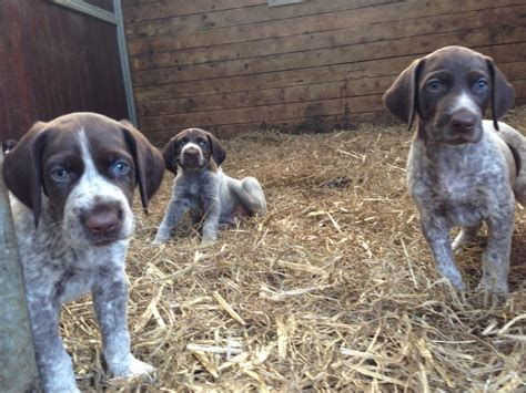 pointer puppies for sale pointer puppies for sale bruton somerset pets4homes