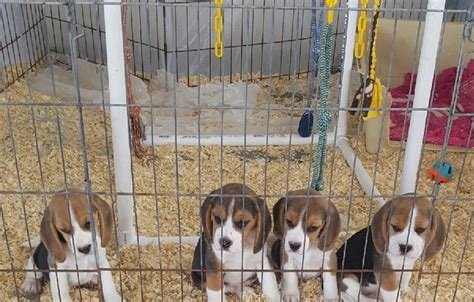 beagle puppies seattle kazuri beagles and cavalier king charles dogs