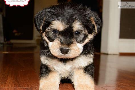 yorkies for sale in dc yorkiepoo yorkie poo puppy for sale near washington dc 3ba34733 dfd1