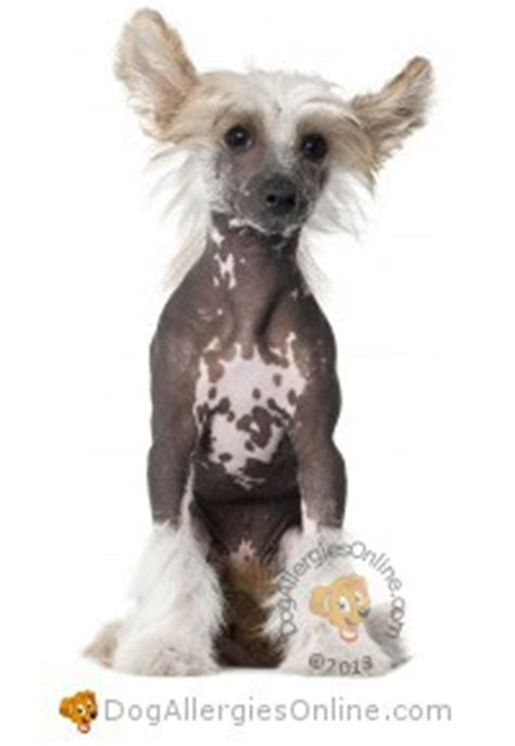 allergy friendly dogs allergy friendly hairless dogs
