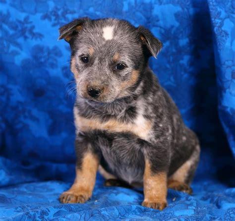 blue heeler puppies for sale mn lovable blue heeler pups puppyindex
