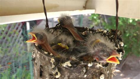 house finch babies baby house finch bird www imgkid com the image kid has it