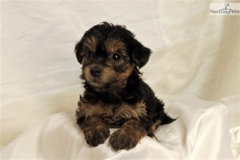free yorkie puppies near me yorkiepoo yorkie poo puppy for sale near rock arkansas 8ec5300c 6431