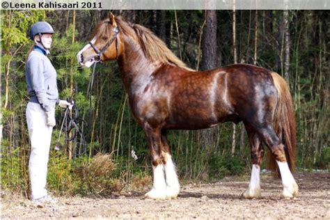 welsh cob section c 17 best images about welsh pony of cob type section c on