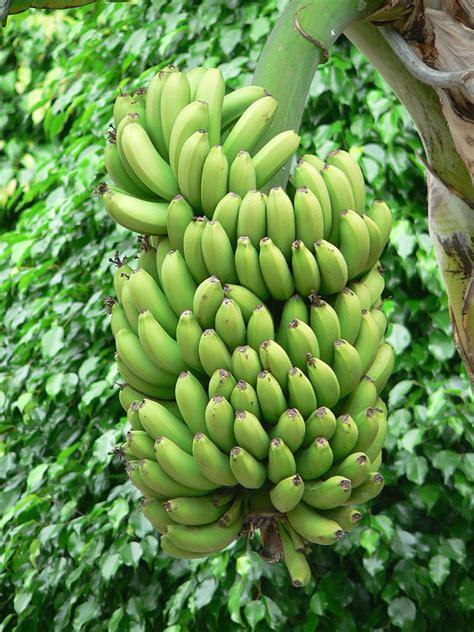 banana tree fruit trees green bananas tree in domain image category