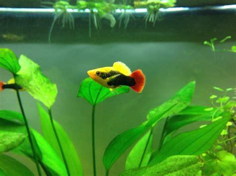 Termurah Fish All Ph Up all about platy fish my aquarium club