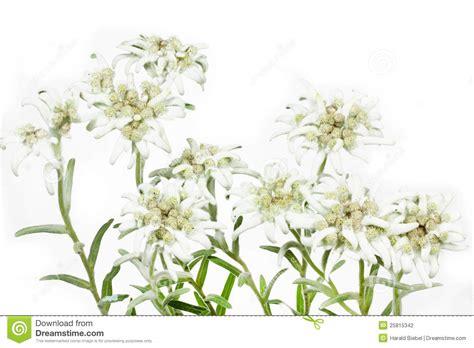 edelweiss bloem oostenrijk de bloeiende bloem van het edelweiss op wit stock foto