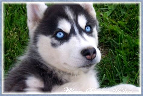 husky puppies with blue black siberian husky puppy with blue photo happy heaven