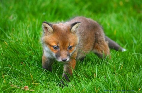 how cute pet foxes steal your heart baby fox baby animal zoo