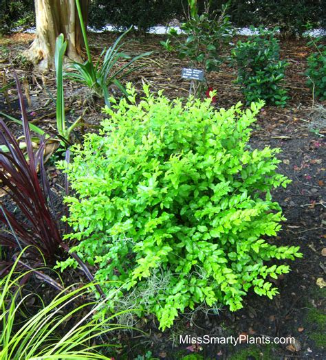 Plants That Require Little Sun by Chartreuse Plants Miss Smarty Plants