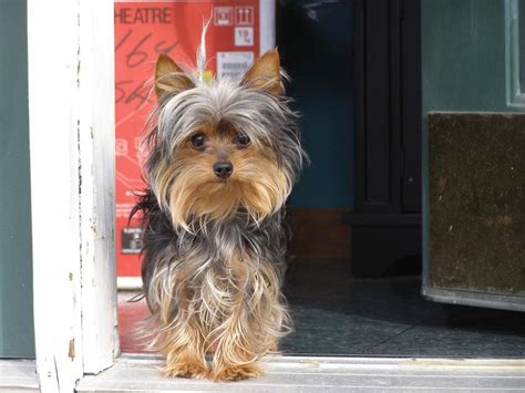 yorkies hair hair yorkie puppy jpg hi res 720p hd