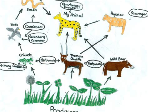 cheetah food chain diagram grassland food web www imgkid the image