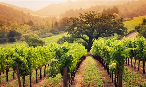 napa valley set of 2 wineries participants a for the vine