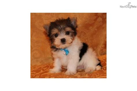 cheap puppies teacup yorkie puppies for sale in arkansas breeds picture
