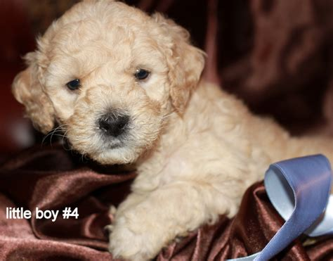goldendoodle puppy rescue nj labradoodle rescue florida search results dunia pictures