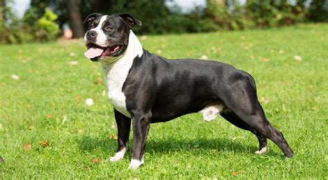 American Staffordshire Terrier Breed Information, Photos ...