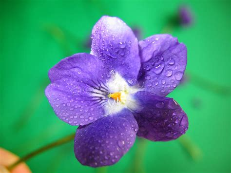 violets with dew on pics violet dew stock image image of droplet green close