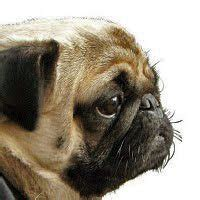 why do pugs noses why do dogs
