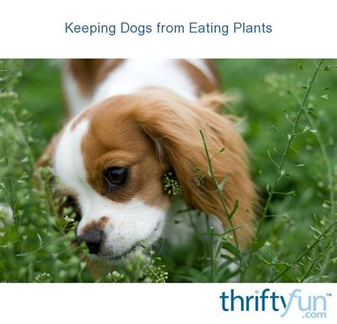 keeping dogs  eating plants thriftyfun