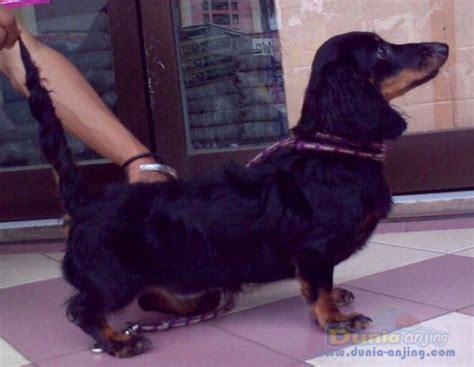 Jual Hair Dryer Anjing dunia anjing jual anjing dachshund jual tekel