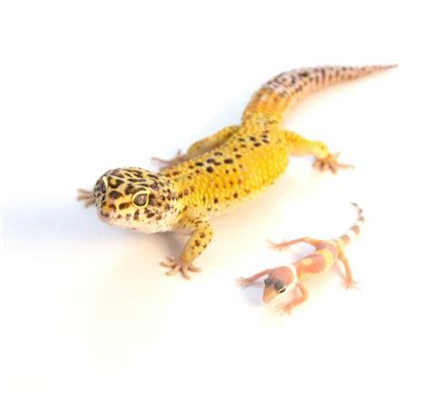 best pet geckos
