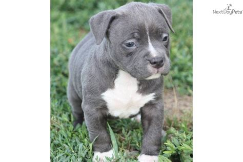 pocket pitbull puppies for sale blue bully style pitbull puppies for sale in santa rosa pets world