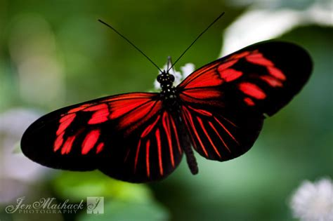 red and black butterflies holly piedra s midterm a midterm site for holly piedra
