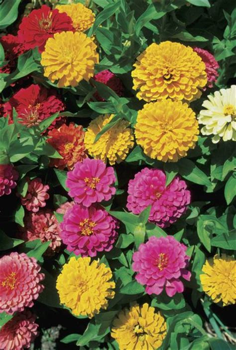 marigolds shade the best choices for summer window box planting home