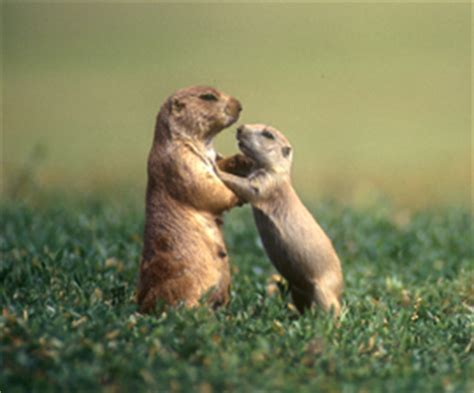 where do prairie dogs live what to do about prairie dogs the humane society of the united states