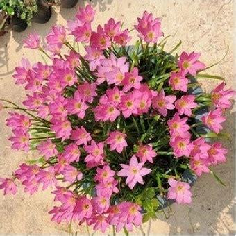Tanaman Jadi Bunga Hujan tanaman zephyranthes pink bibitbunga