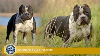 Classic // The American Bully Registry