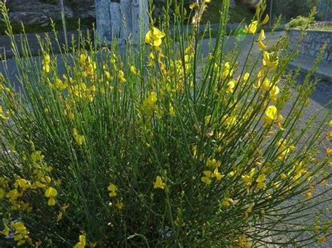 fiore di ginestra fiori ginestra fiori di piante caratteristiche dei