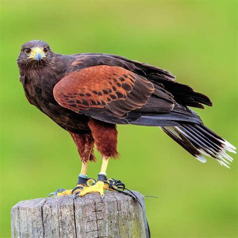 free photo harris hawk bird animal beak free image