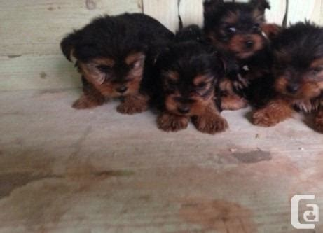 yorkie puppies for sale in vancouver bc stunning terriers puppies for sale for sale in vancouver columbia