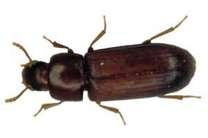 flour beetles in bedroom memsaheb net